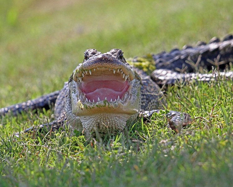 Gator smile wide smug_5482_