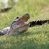 gator low open crop smug_5479_
