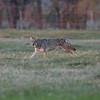 Brazos coyote-0800