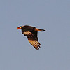 Crested Caracara Flying 2 4969