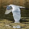 Brazos flying egret-6745