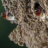 swallows -165
