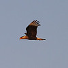 Crested Caracara flying_4966