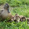 IMG_1373-Ducks