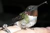 Hummingbird-6-3-2005