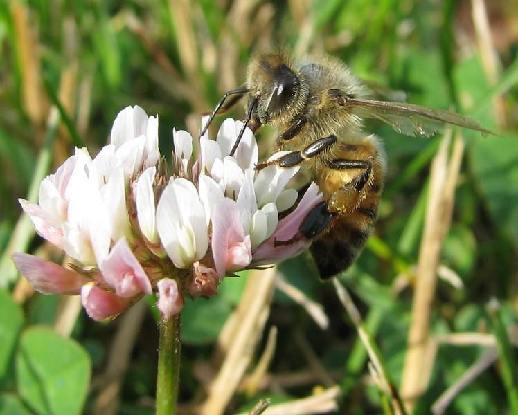 Bee on Clover. Canon Powershot S5IS. Super Macro Mode.