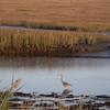 Great Blue Heron, Brigantine NWR