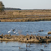 Ducks, cormorants, egrets, heron Brigantine NWR