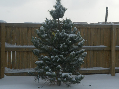 First Winter in new home - Dec 2008; tree in front of our porch