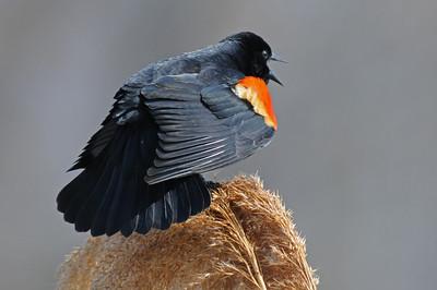 Red winged blackbird 7