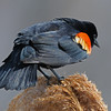 Red winged blackbird 6