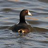 American Coot  4
