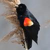 Red winged blackbird 3