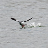 Bufflehead takeoff 2