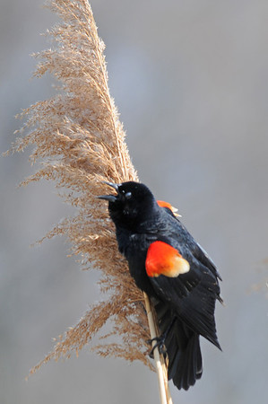 Red winged blackbird 2