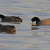 American Coot  6
