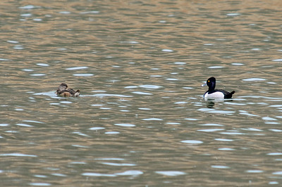 Ring-necked male and female
