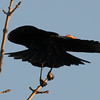 Red winged blackbird 9