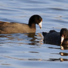 American Coot  9