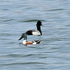 Northern Shoveler and Lesser Scaup