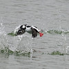 Bufflehead takeoff