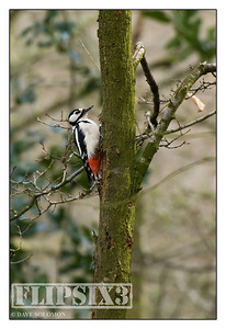 Greater Spotted Woodpecker - not a great shot (shooting at fairly long range), but the first in my collection.
