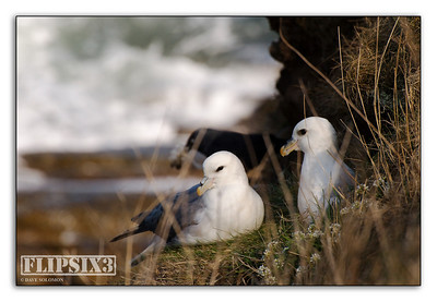 Fulmar paid, nesting on the cliffs between Craster and Howick (Northumberland, UK)