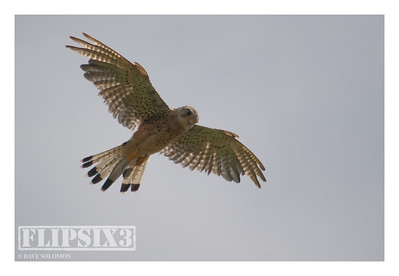Kestrel - poor quality shot, but I was just pleased to have been able to get so close (about 20-30 yards)