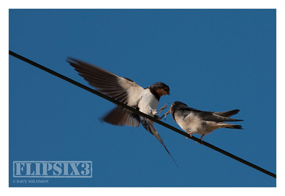 Sequence of an adult swallow delivering food to a juvenile.
