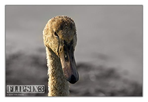 Mute Swan portrait (dawn)