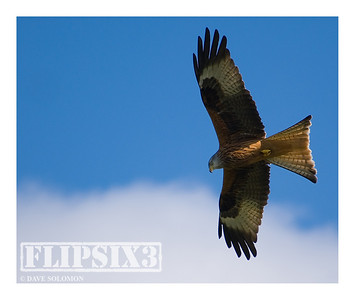 Red Kite at Gigrin Farm (Wales)