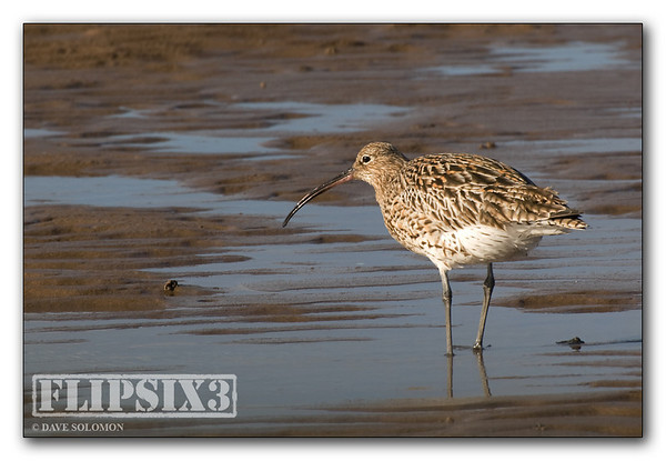 Curlew (causeway to Lindisfarne, Northumberland UK)