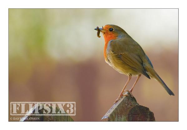 Feeding Robin
