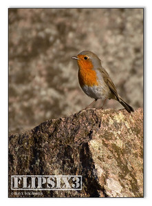 Robin on the rocks at Bradgate Park