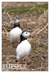 Pair of Puffins, Farne Islands (UK)
