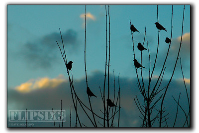 Greenfinches at dusk.