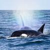 Orcas hunting sea lion