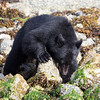 Black bear turning rocks