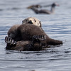 Sea otter with cub