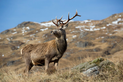 Red deer stag in Highlands.