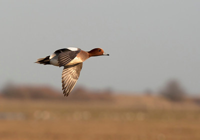 Wigeon in flight.