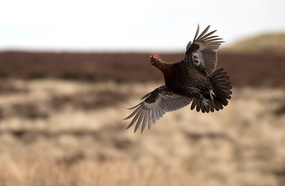 Cock Red grouse in display flight.