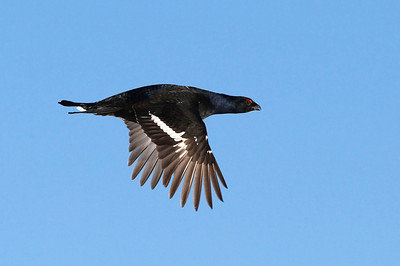 Blackcock in flight