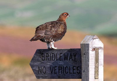 Cock Red grouse.