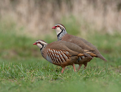 Red legged partridge pair.