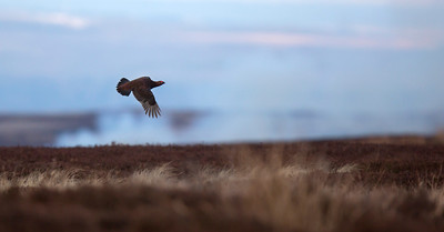 Red grouse and smoke.