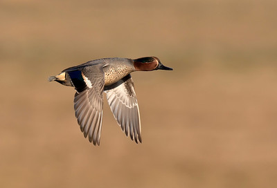 Teal in flight.