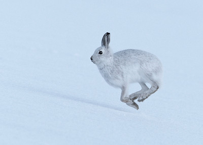 Mountain Hare in full flight.