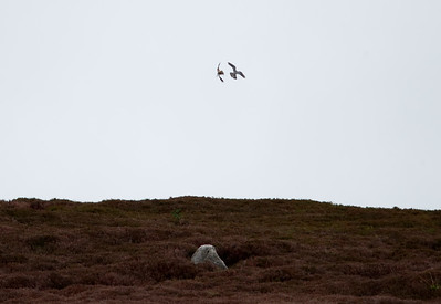 Pair of merlins having just completed a food pass
