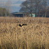 immature male marsh harrier hunting above reeds